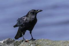 Ворона с обедом стоковые изображения rf