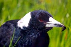 Ворона фуражировать Стоковая Фотография RF