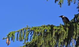 Ворона часового стоковые изображения rf