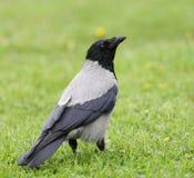 ворона Стоковая Фотография