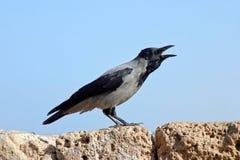 ворона Стоковая Фотография RF