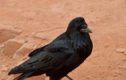 Ворона Стоковые Фотографии RF