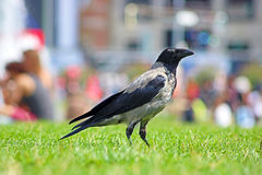 Ворона Стоковое Фото