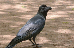Ворона Стоковые Изображения