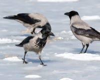 ворона corvus cornix с капюшоном Стоковое Фото
