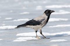 ворона corvus cornix с капюшоном Стоковое фото RF