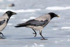 ворона corvus cornix с капюшоном Стоковые Изображения RF