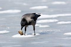 ворона corvus cornix с капюшоном Стоковые Фото