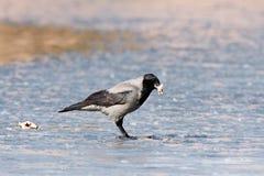 ворона corvus cornix с капюшоном Стоковая Фотография