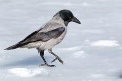 ворона corvus cornix с капюшоном Стоковые Изображения