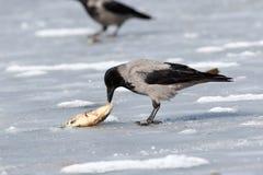 ворона corvus cornix с капюшоном Стоковое Изображение