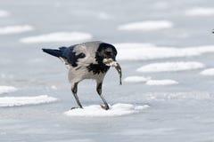 ворона corvus cornix с капюшоном Стоковые Фотографии RF