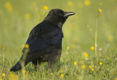 ворона corvus corone мяса Стоковая Фотография RF