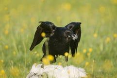 ворона corvus corone мяса Стоковые Фото
