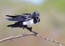ворона pied Стоковое Фото