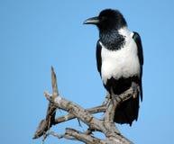 ворона pied Стоковые Фото