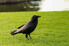 Ворона Torresian Стоковые Фото