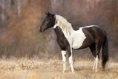 Воронопегая лошадь внешняя стоковое фото