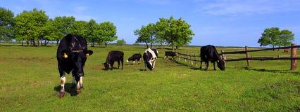 Воронопегие коровы молока фермы на выгоне Стоковая Фотография