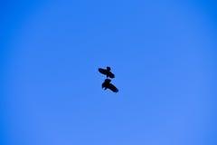 2 вороны воюя в голубом небе Стоковое Изображение RF