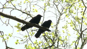 Вороны в парке видеоматериал