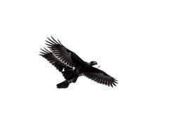 2 вороны в среднем полете Стоковая Фотография