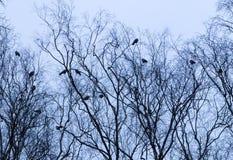Вороны в утре Стоковые Фотографии RF