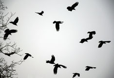 Вороны зимы Стоковые Изображения