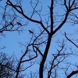 Вороны и ветви летания silhouetted лунным светом Стоковая Фотография