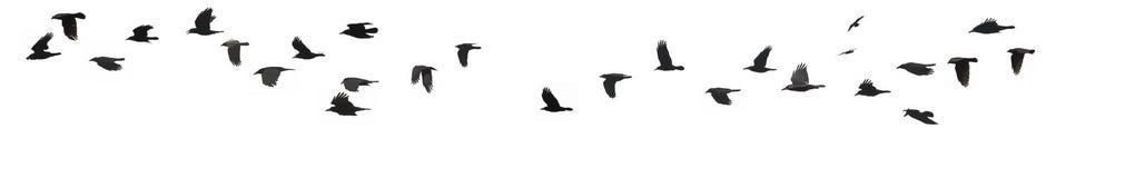 Вороны и галки Стоковая Фотография