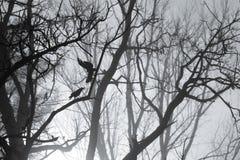 Вороны и силуэт ветвей дерева в туманном утре стоковое фото rf