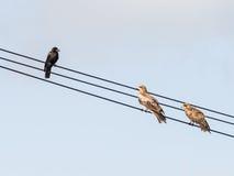 Вороны и 2 хоука Стоковые Фото