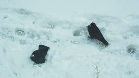 Вороны купают в снеге акции видеоматериалы