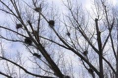 Вороны мяса гнезда на ветвях молодых берез ландшафта фокуса поля дня облаков сини небо выставки заводов движения должного польнос Стоковое Изображение RF
