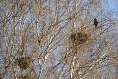 Вороны мяса гнезда на ветвях молодых берез Стоковые Фотографии RF