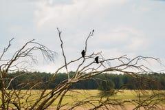 Вороны на ветвях сухого дерева против неба Стоковые Фото
