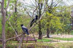 2 вороны на времени ветви дерева весной Стоковые Изображения RF