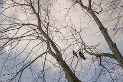 Вороны на дереве Стоковое Изображение RF