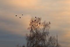 Вороны на дереве в временах вечера осени Стоковые Изображения RF