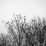 Вороны на деревьях Стоковое Изображение RF