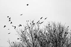 Вороны на деревьях Стоковая Фотография RF