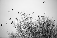Вороны на деревьях Стоковая Фотография