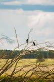 2 вороны на сухих ветвях дерева Стоковые Изображения RF