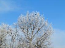 Вороны на чуть-чуть ветвях предусматриванных с заморозком Стоковая Фотография