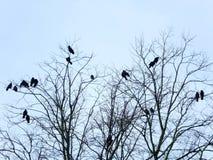 Вороны садились на насест roosting в дереве в зиме с бледным - голубое небо Стоковое Фото