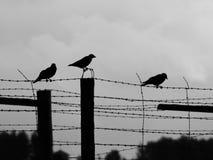 3 вороны сидя на проводе колючки Стоковые Фотографии RF