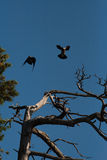 Вороны танцы Стоковое Изображение RF