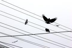 Вороны Стоковые Изображения