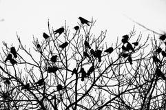 вороны Стоковое Фото