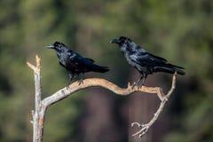 Ворон ворона Стоковое фото RF